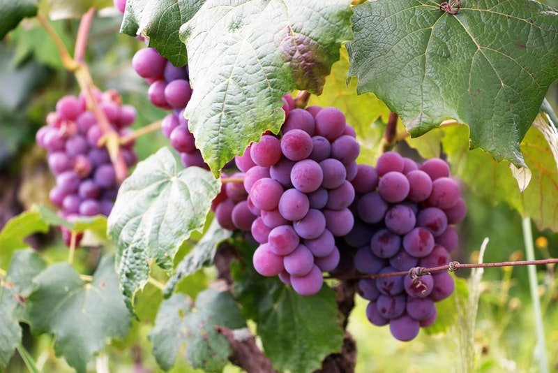 A close up of bright purple grapes hanging off of a vine.